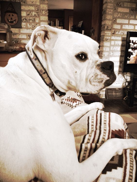 My 5 year old white boxer/American bulldog.