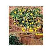meyer lemon tree. i want one of these.