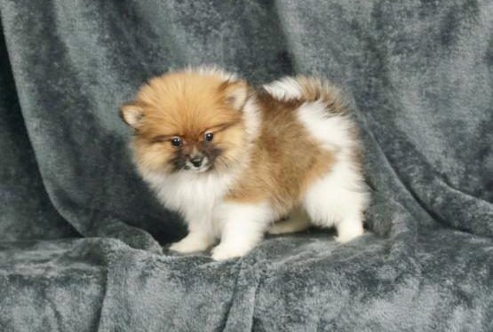 Bernie Stunning True Teacup Pomeranian Girl From A World Famous Award Winning Breeder In Tyld In 2020 Pomeranian Dog Pomeranian Puppy For Sale Pomeranian Puppy Teacup