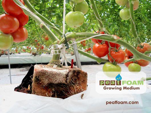 FotoMEDIO DE CULTIVO PEATFOAM Cultivo de tomate Espuma agrícola Sustrato agrícola  PEATFOAM GROWING MEDIUM Tomato Crop GrowerFoam Agricultural substrate