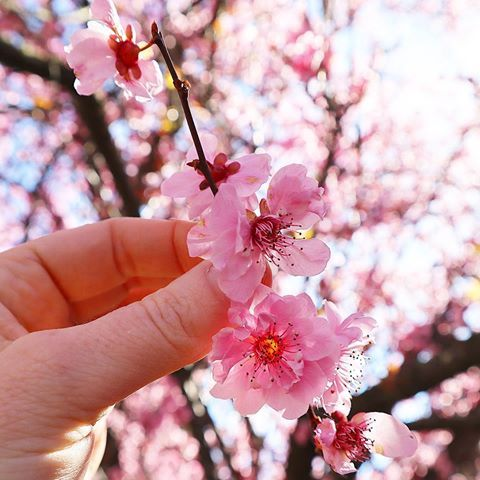 Live Can T Get Enough Of Beautiful Cherry Blossom Season In Australia Cherryblossom Cherry Sakura Sakura Sakura Bloom Cherry Blossom Season Spring Flowers