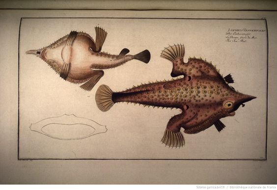 pl.110 : Lophius vespertilio. Der Einhornteufel. La chauve-souris de mer. The sea-bat / Pater Plumie dess., Schmidt Ludwig. sculp. [cote : d11685]