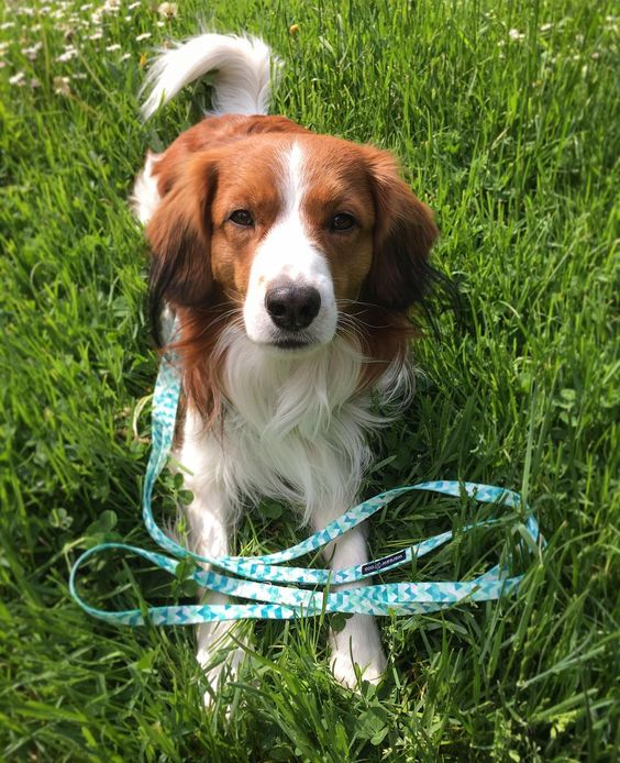 Man kann nie genug Hundezeug haben  @warsawdog #kooiker #kooikerhondje #warsawdog #instadog #dogs #ilovemydog #doglover #cute #zuckerschock #bestdog #bestwoof #dogleash #puppy #photoaday #iphonegraphy #instapuppy #dogstuff #shopping by jaylinchen_
