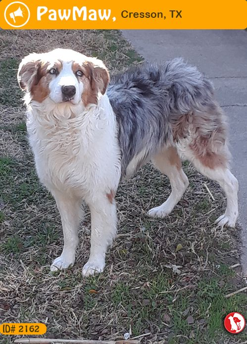 Let Your Nearby People Know This Pet Was Founde On 12 26 2018 In 18101 U S 377 Cresson Tx Usa Pets Australian Shepherd Find Pets