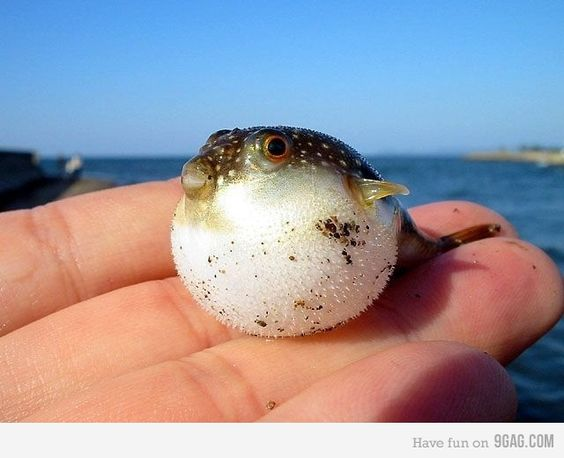 A baby puffer fish.