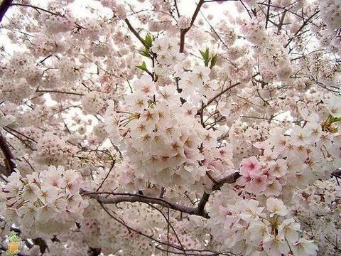 Flowering Cherry Tree Care Flowering Cherry Tree Yoshino Cherry Tree Yoshino Cherry