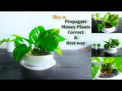 How To Reproduce Money Plant