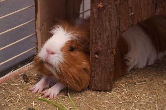 Guinea Pig stretching - only Louie has his mouth wide-open when he stretches