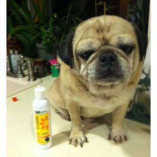 """vet_organics ♥ More great news for this little guy: """"I was leery but bought 2 bottles & can attest this has finally cleared his chronic ear issues!! Tonight was max's ear cleaning and he feels much better"""" Thank you for sharing your #EcoEars story and pup! ❤️ #HappyEars #DogsOfInstagram  lasvegast: #pugdawgsrock ❤️❤️"""
