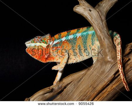 Colorful Lizards | Nice Chameleon Colorful Lizard Male Stock Photos, Illustrations, and ...