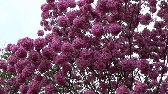 Ipê roxo - Tabebuia impetiginosa