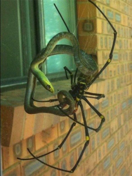 Golden orb spider with its snake prey in Coolum, Queensland.