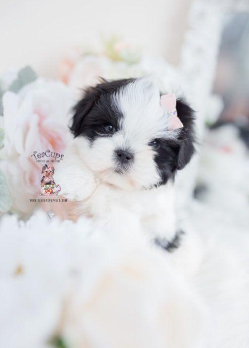 Malshi Maltese Shih Tzu Designer Breed Puppy 091 A Maltese With