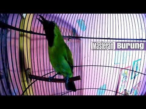 Cucak Ijo Gacor Ngentrok Jambul Nembak Terbaru Burung