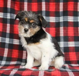Puppies For Sale Lancaster Puppies Poodle Mix Puppies Puppies For Sale Lancaster Puppies