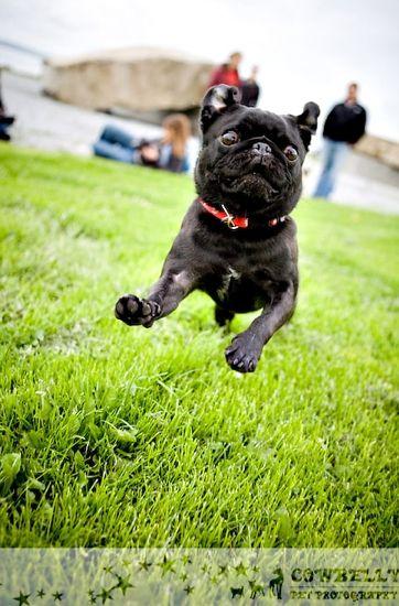 Super Pug! StarrN