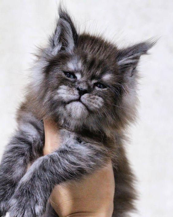 Pin On Kawaii Kittens