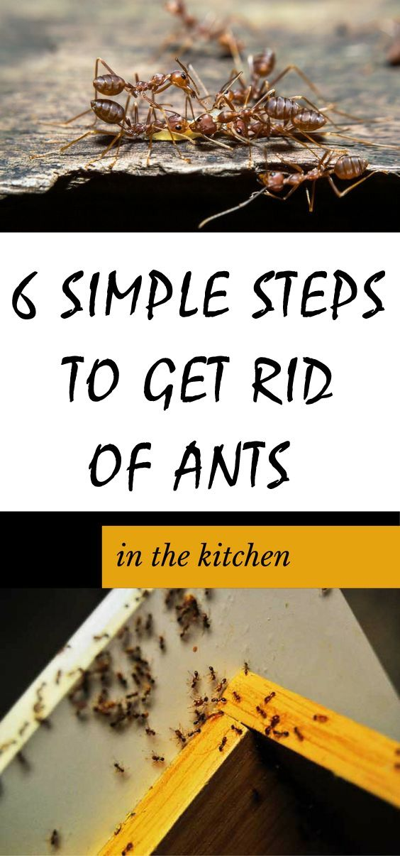 6 Simple Steps To Get Rid Of Ants In The Kitchen Pests Get Rid
