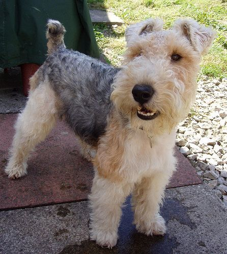 My grandma used to breed wire-haired fox terriers, but inherited a distinctly duff line; one of them had the postman's leg off once, or something like that.