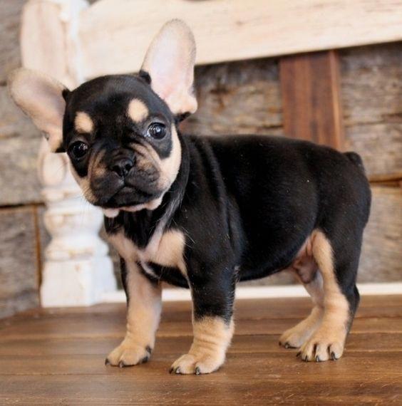 Tux French Bulldog Puppy 574866 Puppyspot French Bulldog