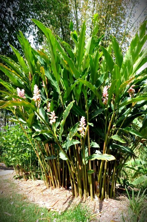 Gingers Alpinia Zerumbet Giant Pink From Bamboo Land Nursery Qld Australia Tropical Garden Design Small Tropical Gardens Tropical Garden