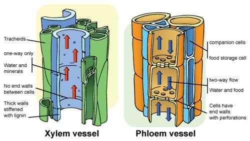 Xylem Tissue Diagram plant structure xylem ...