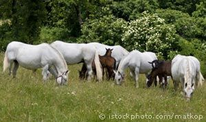 lipizzans with foals, they are born black...and turn white as they age...