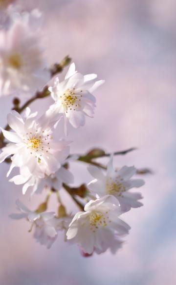 DieWinter-Kirsche(Prunus subhirtella 'Autumnalis') öffnet die ersten Blüten bei milder Witterung schon im November/Dezember, die Hauptblüte findet im März statt. Die bis zu fünf Meter hohe Pflanze wächst relativ langsam und wird als Strauch oder kleiner Baum angeboten. Es gibt mit der Sorte 'Autumnalis Rosea' auch eine rosa blühende Variante.
