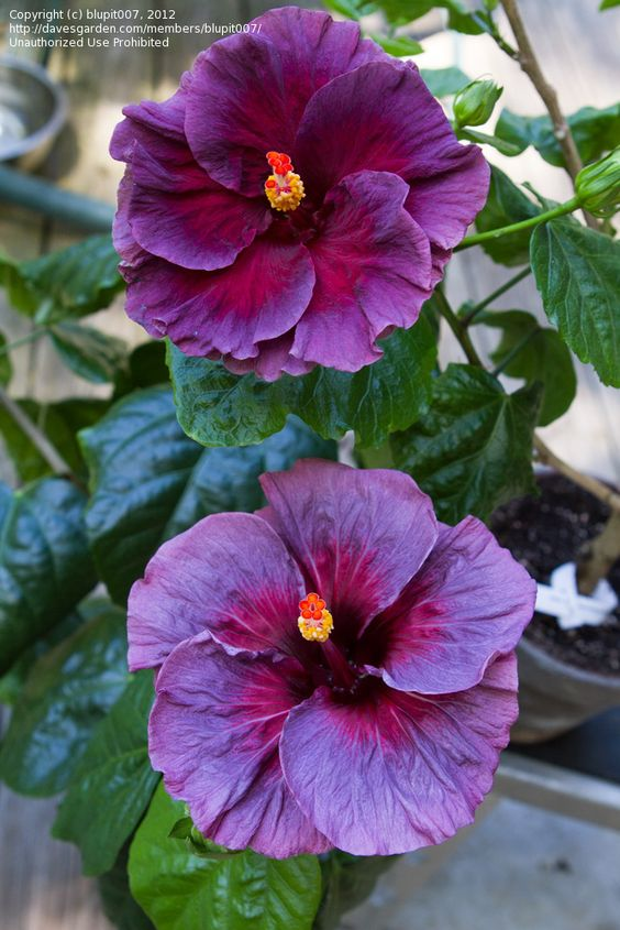 Purple lace Hibiscus  I just got this one... So beautful!