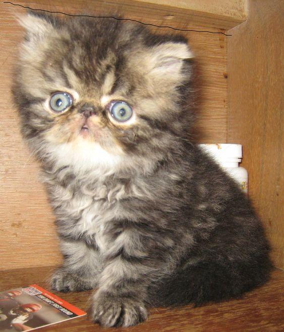 Himalayan Persian Kitten Breeder In Dallas Fort Worth Tx