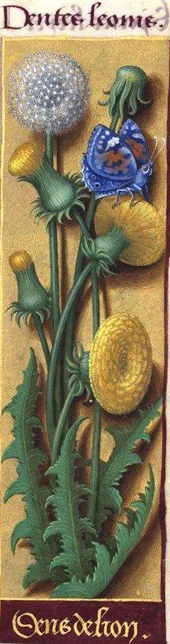 Dens de lion - Dentes leonis (Taraxacum officinale Vill. = pissenlit) -- Grandes Heures d'Anne de Bretagne, BNF, Ms Latin 9474, 1503-1508, f°97r: