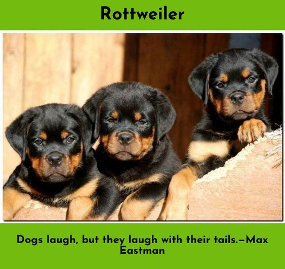 Rottweiler Loving Confident And Loyal Rottweiler Puppies Puppies Dog Breeds