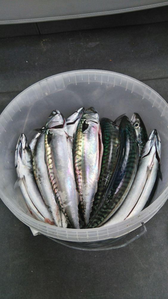 40 Makrell Larkollen Oslofjorden