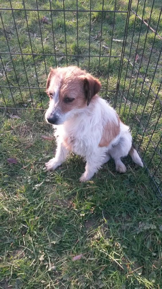 jack russell bitch for rehomeing | Tonbridge, Kent | Pets4Homes