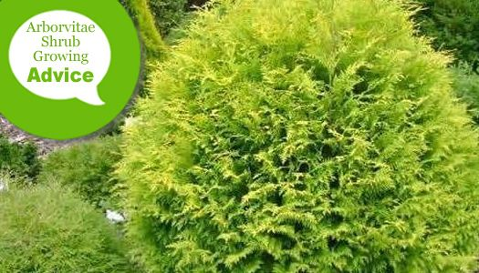 How To Plant Fertilize Prune Water Arborvitae Thuja Shrubs Wilson Bros Gardens In 2020 Arborvitae Shrubs Plants