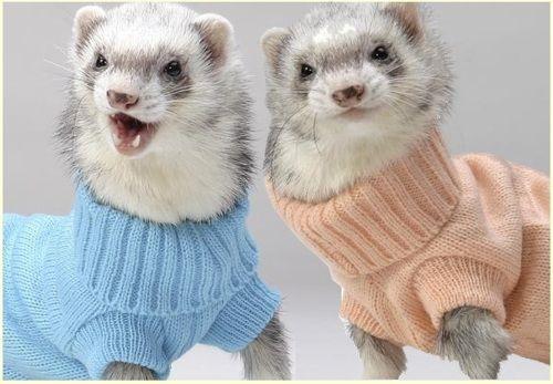 Ferrets in Turtlenecks. I would LOVE a pet ferret.  One in a turtleneck would blow my mind.