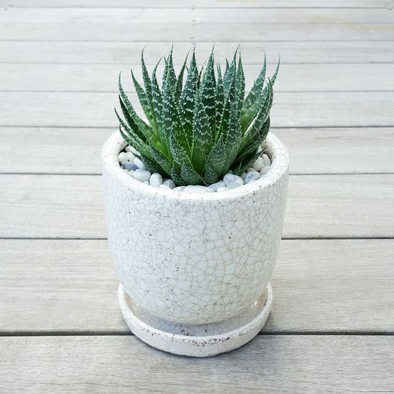 Aloe Aristata in Crackle Pot