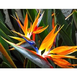 Shop for Hawaiian Bird of Paradise Starter Plant and more for everyday discount prices at Overstock.com - Your Online Flowers