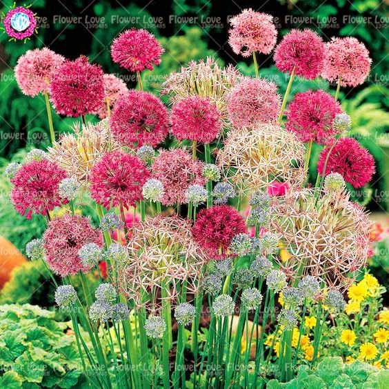 100pcs Mixed Colour Giant Onion Seeds Allium Giganteum Beautiful Flower Seeds Garden Plant Rare Flower For Chil Flower Garden Design Bulb Flowers Flower Garden