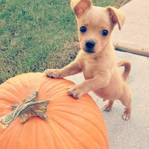 Cutest dogs, Halloween costumes and Pumpkins on Pinterest