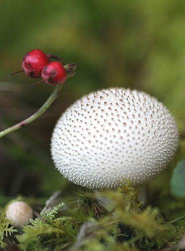 """Gem-studded Puffball"" (Lycoperdon perlatum). Just make sure these are pure white all the way thru before eating!"