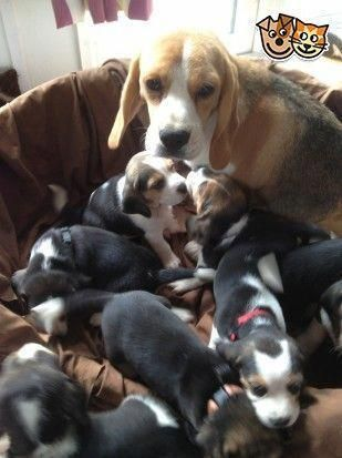 Beagle Puppies Kc Registered Coalville Leicestershire