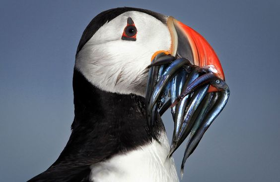 A Puffin returns to its nest with a beak full of sand eels on Inner Farne, England, on June 25, 2011. (Dan Kitwood/Getty Images)