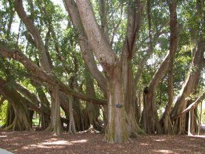 """FICUS Benghalensis """"Indian Banyan tree"""" 25 Seeds by Seeds and Things. $4.59. Good Bonsai Plant. 25 Seeds. Zones 9-11. A large tropical fig tree to 100 . Develops broad ovate, leathery leaves which have handsome lateral red veining. Numerous aerial roots surround its cental trunk as the tree matures. Desirable indoor ornamental - can be pruned to desired size. The seeds are very small and must be sown on the soil surface. Broadcast the small seeds onto the surface of well drain..."""