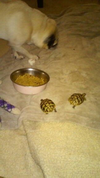 My 2 baby tortoises going after Cokey the Pug's food!