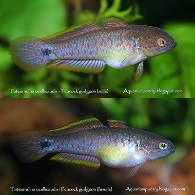 Name: Tateurndina ocellicauda Common name: Peacock Gudgeon Origin ...
