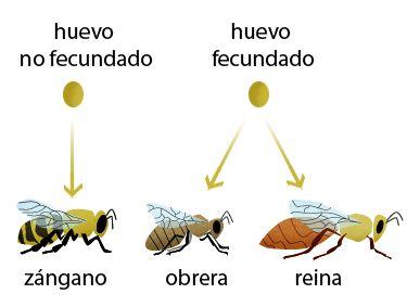 La Familia de la Apicultura - The Beekeeping of Family: Reinas