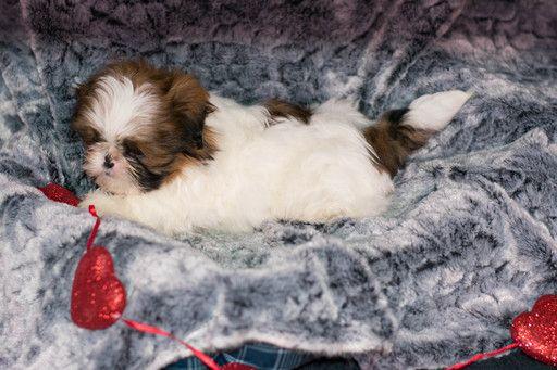 Shih Tzu Puppy For Sale In Kent Oh Adn 62464 On Puppyfinder Com