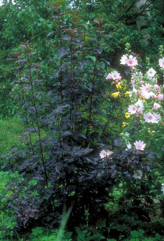Rotlaubige Blasenspiere Physocarpus 'Diabolo'