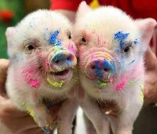 Cute little piggies that will make you smile